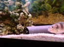 Limnochromis auritus