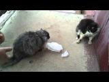 Драка двух котов за кусок колбасы