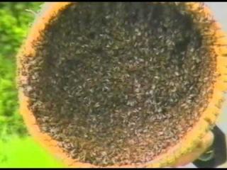 Роение и формированеи пакетов пчёл