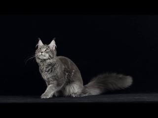 Кошка мейн кун Hana Grey Claw`s 6 месяцев
