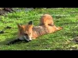 кот и лиса  Знакомство  Полная версия — Яндекс Видео