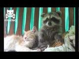 Забавный енот достает кота! :-)