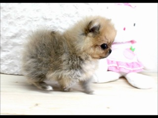 Boutique Teacup Puppies ~ Micro Teacup Pomeranians Tiniest Pom Puppies!