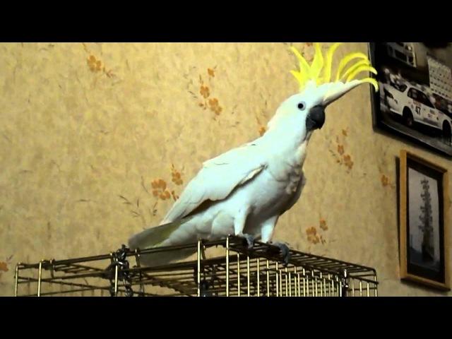 Кузя попугай IMBEATO D