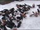 Голуби николаевские торцовые. Донецк