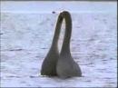 Лебединая любовь. Нереально красивое видео