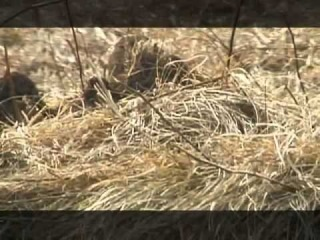 Основной Инстинкт 3. Охота на разводного фазана