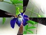 Serenada florilor