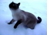 кот пищит как мышь и боится снега