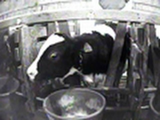 Cruelty to Baby Calves at Veal Farm in Ohio/ ТЕЛЯТИНА