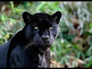 Pantere Noire - Black Panther- Diaporama.