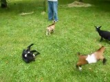 Çılgın Keçi [56.Sn Dikkat] :)))))