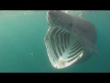Basking Sharks Cornwall/Гигантская акула