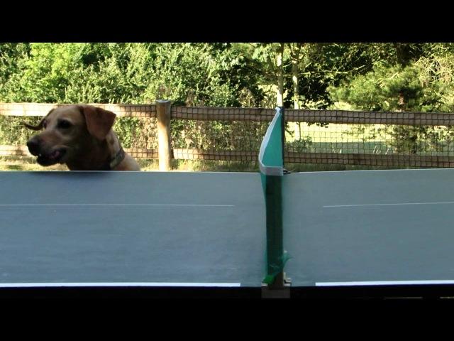 Ping pong dog