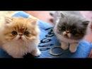 Gatos Persas Exoticos - Kiara Cats Bogota Colombia