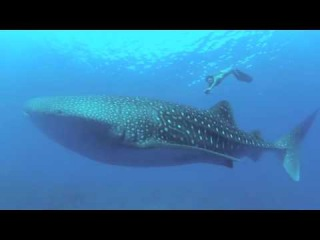 Gaelle free diving with whale shark .m4v
