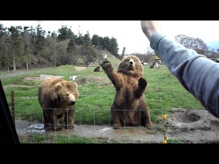 Прикол про медведей 2012