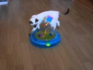 Котята тайской породы умеют играть  в игрушки!!!