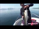 Angeln Norwegen: Seelachse angeln rund um Andorja - Juni 2011