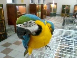 Попугай АРА - Недоверчивый, смешной.MPG
