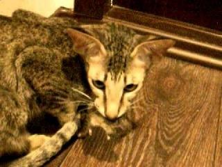 Ориентальная кошка поймала мышь