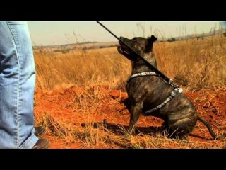 Diesel the staffie, helping to track Cheetahs in South Africa