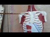 Мышцы груди, живота, спины. Урок 3