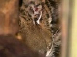 На окраине Москвы обнаружен запертый в ящик детеныш амурского тигра - Первый канал
