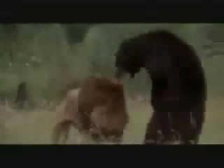 лев против медведя!!!! слабонервным не смотреть!!