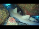Zebra Sharks (Leopard Sharks) & Nurse Sharks - Reef Life of the Andaman - Part 2
