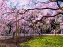 [HD]満開の東京の桜 CHERRY BLOSSOM in TOKYO 日本1239
