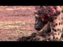 Hyenas face torn to shreads by a lion