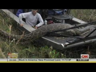 Massive 16 Foot Florida Burmese Python Eats Deer -  44 Inch Girth