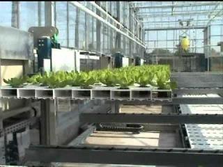 Сельскохозяйственный робот выращивает салат в гидропонной теплице.