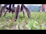 Индийский город Садия атаковали ядовитые пауки-