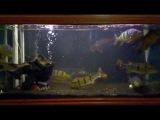 Peacock Bass Feeding 2 : Cichla Temensis, Cichla Monoculus & Cichla sp Xingu (Cichla melaniae)