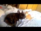 Коварный кот-убийца против французского бульдога