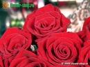 Роза Гран При. Ознакомительный ролик с самым популярным сортом роз