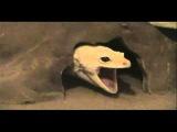 Gecko Sings