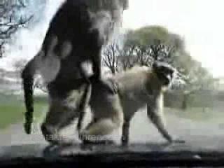 Фото ебля обезьян