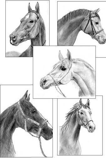 Extra Large (крупные лошади)