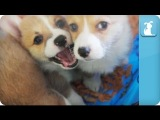 Corgi Puppies Wake Up in a Kiddie Pool