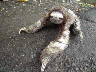 Oso perezoso con las patas atropelladas por el carro.Talamanca.Costa Rica.Ленивец
