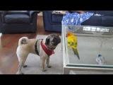 A Pug, a Papillon and a Bird