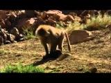 Павианы крадут щенков бродячих собак и приручают их как домашних животных