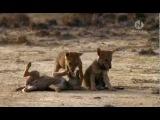 BBC. Мир природы. Волки индийской пустыни.flv