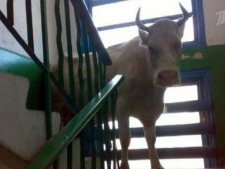 В Иркутской области проведена операция по спасению коровы от быка - Первый канал