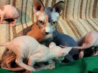 4 weeks old sphynx kittens and their mom  Mimi