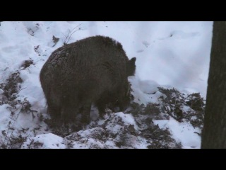 Кабаны в заповеднике Белогорье | Wildboars in Belogorie zapovednik (Belogorie reserve)