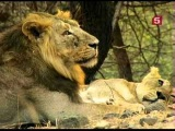 BBC. Мир природы. Последние львы Индии.